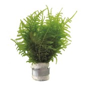 Waterplant Bos Vesicularia Dubyana