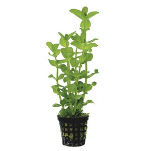 Waterplant Bacopa Amplexicaulis 5 cm pot