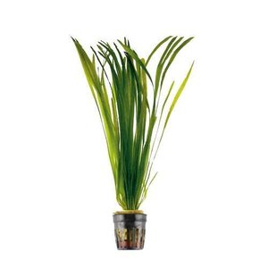 Waterplant Vallisneria Spiralis bos