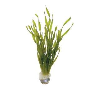 Waterplant Vallisneria Torta bos