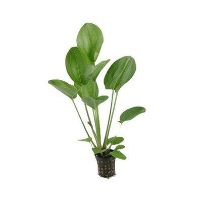 Waterplant Echinodorus Harbii Rosa (5 cm pot)