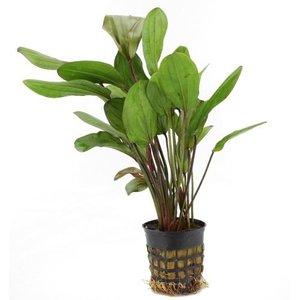 Waterplant Echinodorus Chrileni (5 cm pot)