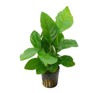 Waterplant Anubias Heterophylla (5 cm pot)