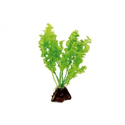 Waterplant Aponogeton Ulvaceus Knolplant