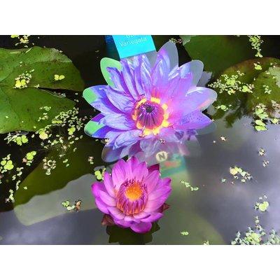 AquastoreXL Koi lelie medium