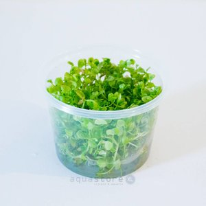 Waterplant Easy grow Micra Micranthemoides (nr 7)