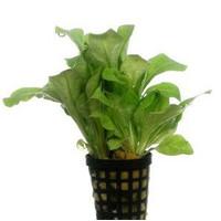 Waterplant Samolus Floribundes