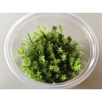 Waterplant Easy Grow Rotala Wallichii (nr 10)