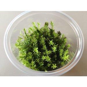 Waterplant Easy Grow Rotala Wallichii (nr 10)