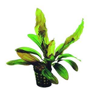 Waterplant Echinodorus Rubin 5cm Pot