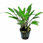 Waterplant Cryptocoryne Nevelli 5cm Pot
