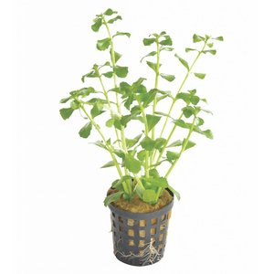 Waterplant Bacopa Monerii 5cm Pot