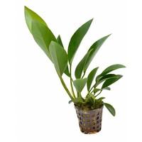 Waterplant Anubias Congensis 5cm Pot