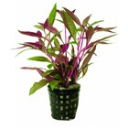 Waterplant Alternanthera Rosaefolia 5cm Pot