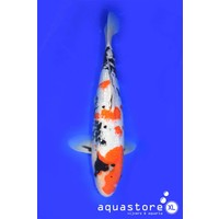 AquastoreXL Koi HQ nisai Showa - 5