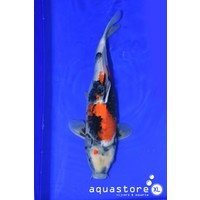 AquastoreXL Koi Showa 2