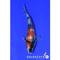 AquastoreXL Koi Showa 4