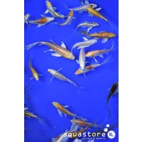 AquastoreXL Koi Butterfly mix