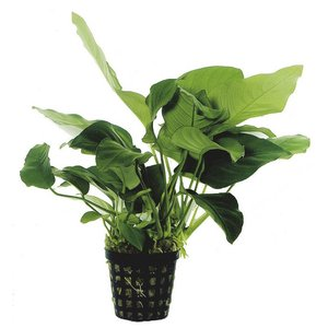 Waterplant Anubias Barteri Var.Nana - Extra Groot