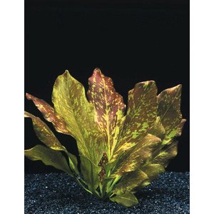 Waterplant Echinodorus Red Flame - Extra Groot