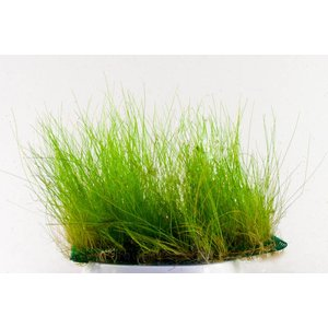 Waterplant Eleocharis Acicularis op mat