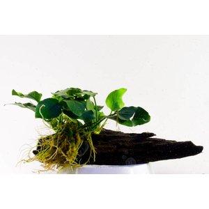 Waterplant Anubia Nana midi op hout