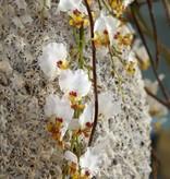 Fleurs Ami Beach Shells Un joyau exclusif dans toutes les pièces!