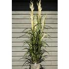 Bloeiend Gras Plant 160cm