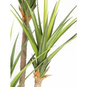 Pandanus Plant 240cm Groen