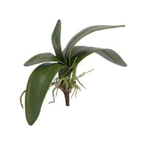 Orchidee Blad (5 bladen + wortel) 28cm