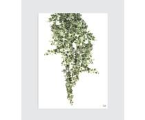 Homemade poster Botanisk plakat Hedera