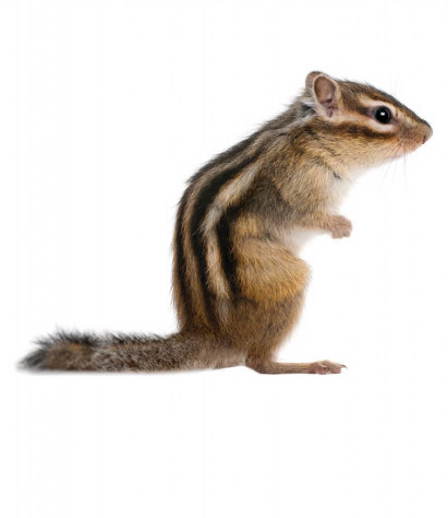 De Feestdagen | Muursticker eekhoorn (SQUIRREL)
