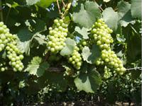 Rijpende druiven van de Chardonnay
