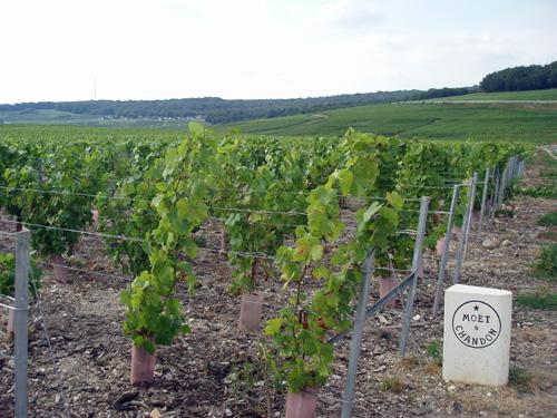 Wijngaard van Moet & Chandon