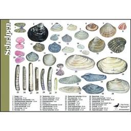 Tringa paintings natuurkaarten Herkenningskaarten Schelpen