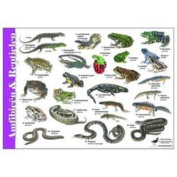 Tringa paintings natuurkaarten Herkenningskaarten Amfibie