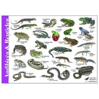 Tringa paintings natuurkaarten Natuur zoekkaarten Amfibie
