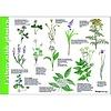 Tringa paintings natuurkaarten Herkenningskaart Eetbare wilde planten