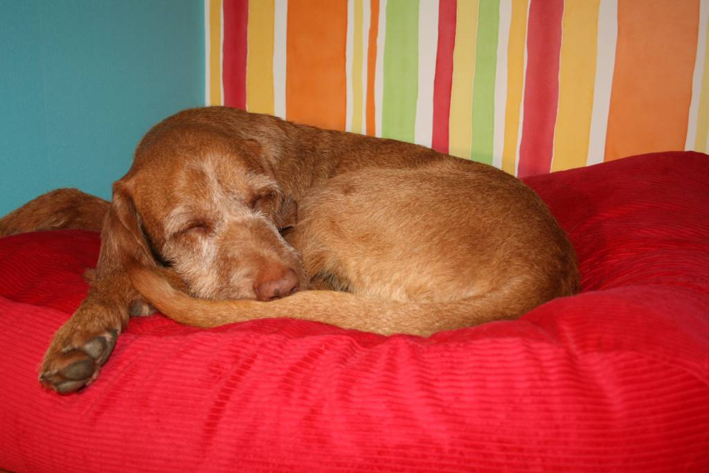 Dog's Companion® Dog bed Red (Corduroy) - Dog beds by Dog's Companion...