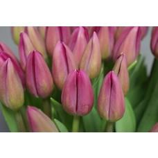 Tulpen roos