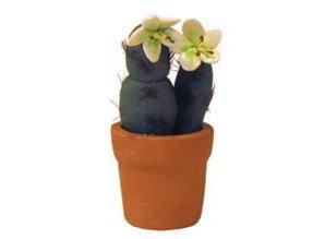 Euromini's Cactus, witte bloem