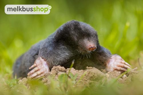 Mol, mollen, mol dier, een mol, afbeelding mol