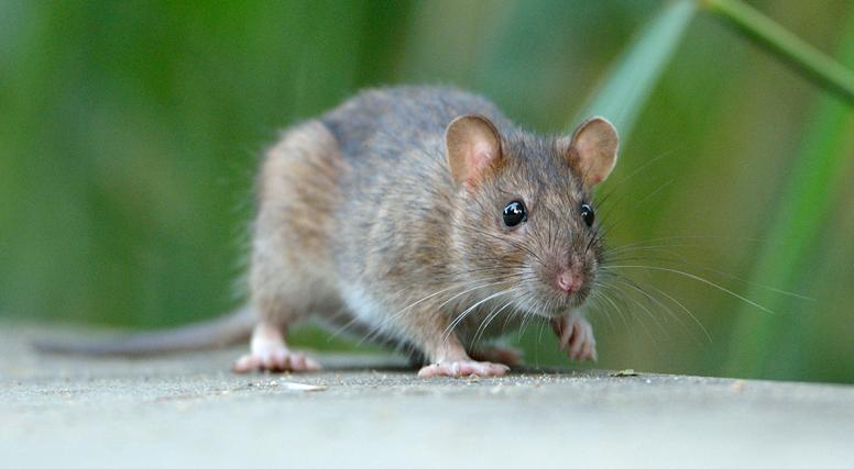 De Bruine Rat, Rattus norvegicus, Noorse Rat, Rat, Rioolrat, stadsrat