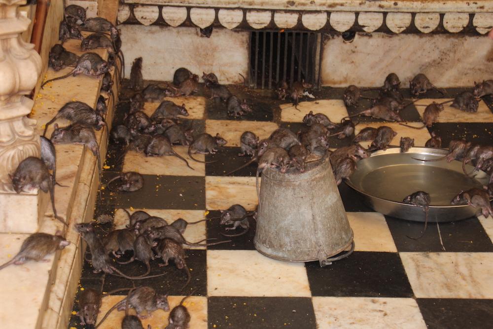 De Bruine Rat - Rattenplaag