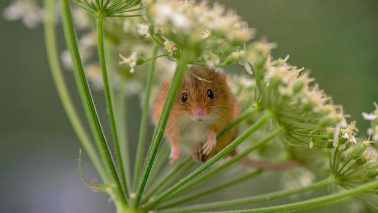 Woelmuis en Woelmuizen verjagen - Algemene informatie over de woelmuis