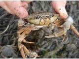 Shrimpfood Krabben 1000gr - Shrimpfood