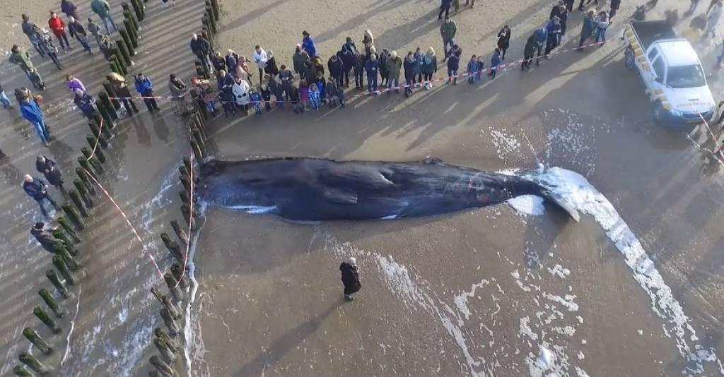 Aangespoelde walvis: drone beelden