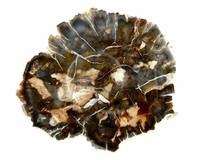 Petrified wood from Madagascar