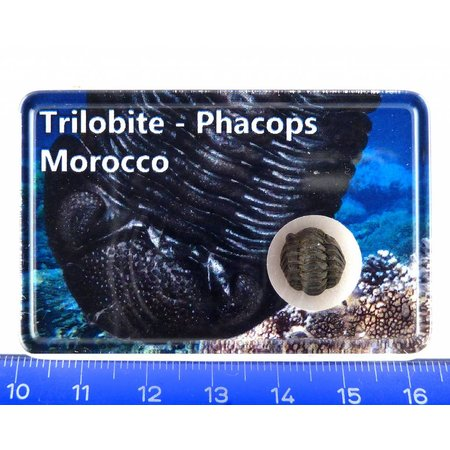 Trilobite, Phacops in box
