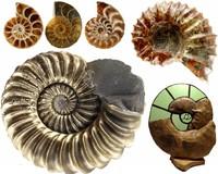 Ammonieten in vele soorten